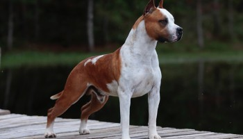 Highlight Our Dogs: Rainbow Fire Fraja Ticket To Gold - Ozzy